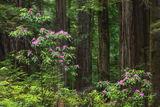 Redwoods Understory print