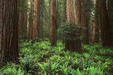 Redwood Metroplis print