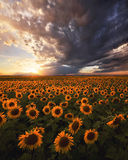 The Sunflower Kingdom print
