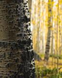 Colorado's Forest Details print