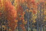 Flaming Aspens print