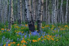 Colorado Bloom