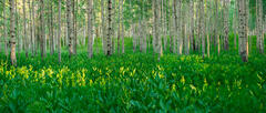 Lush Forest Pano