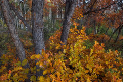 Colorful Scrub Oak