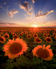 The Plains & Sunflowers