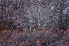 Scrub Oak & Cottonwood
