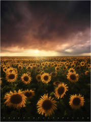Sunflower photos, sunflower photography, kane sunflowers,