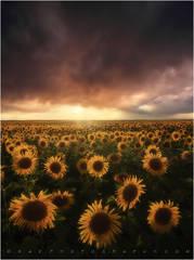 Sunflower photos, sunflower photography, kane sunflowers,