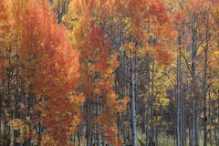 Flaming Aspens