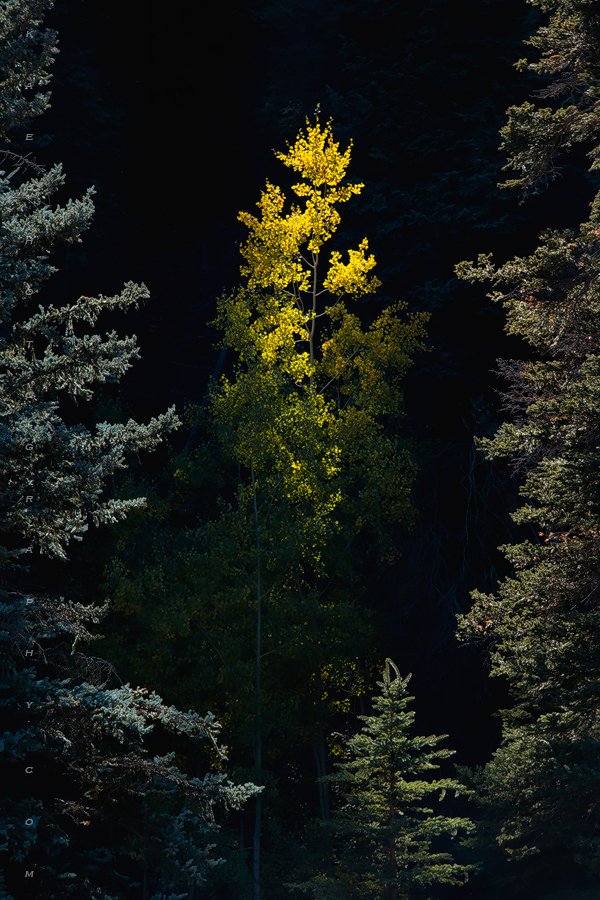An alone aspen sapling lurking in the shadows gets its 30 seconds of sunlight.
