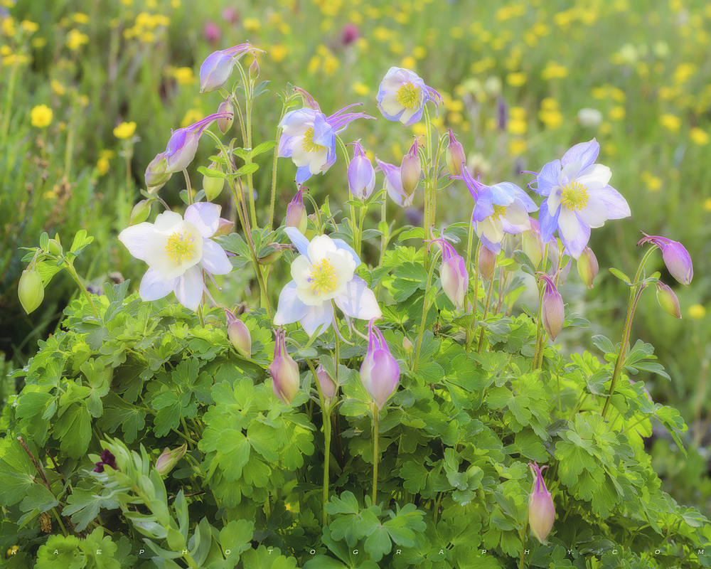 Columbine, flower, photo