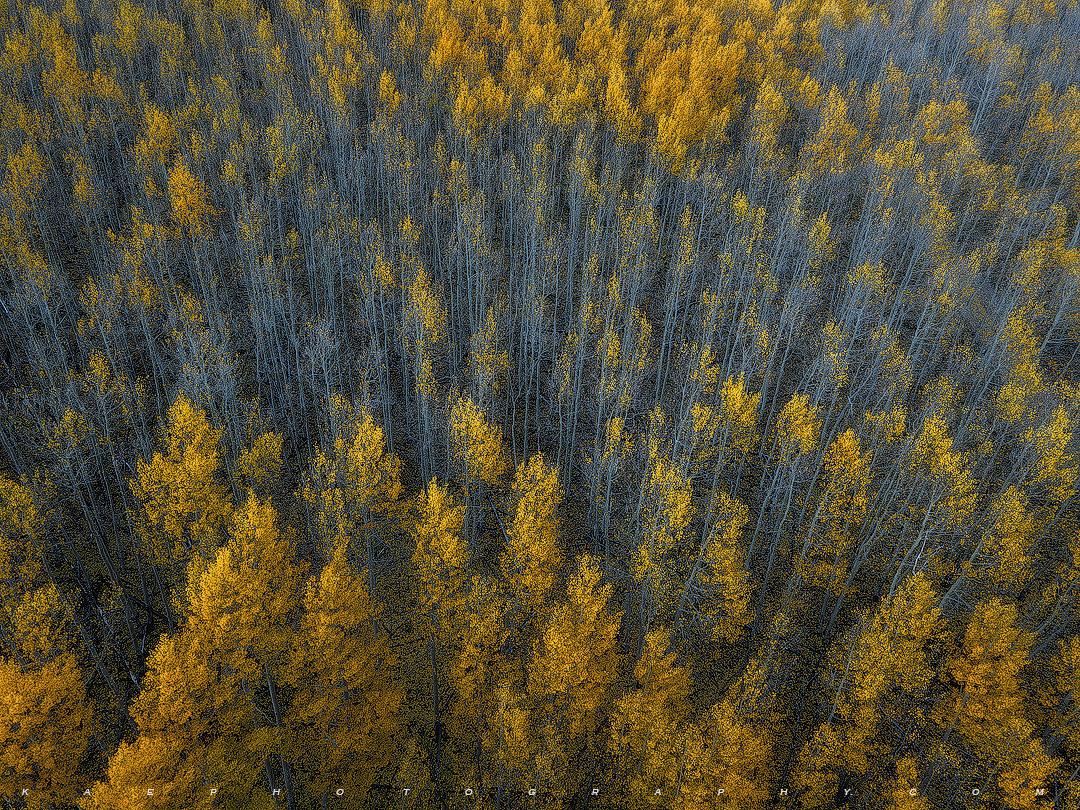 Golden Canopy, Cyan Understory