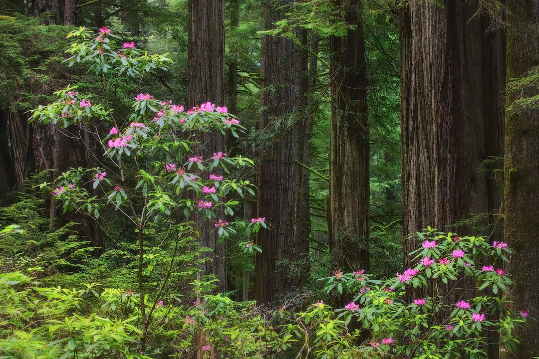 Redwoods Understory