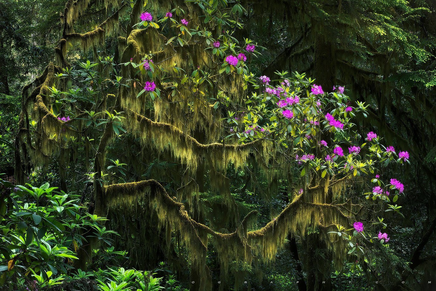 Rhododendron Swag