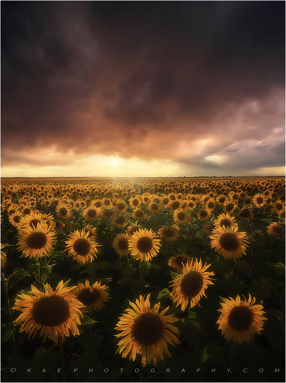 Sunflower photos, sunflower photography, kane sunflowers, , photo